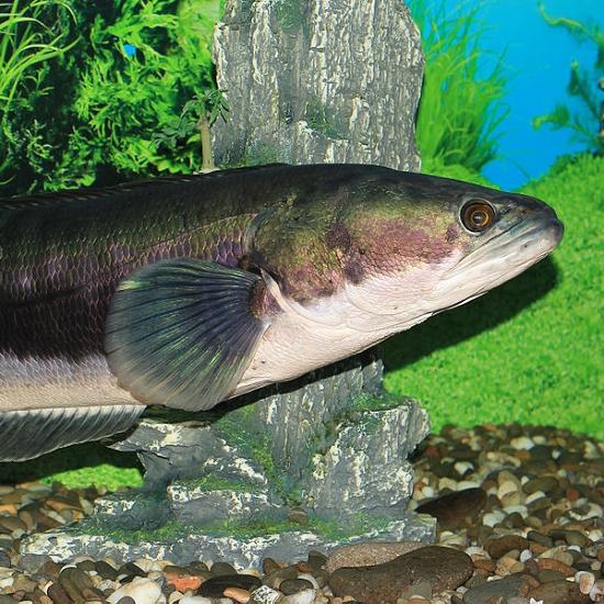 最長達1.5米 凶猛魚虎恐讓日月潭萬人泳渡停辦