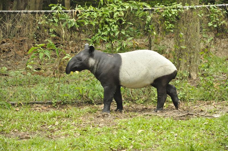 长相奇特像猪,又像食蚁兽的动物,称之为「四不像」,马来貘为中大型的