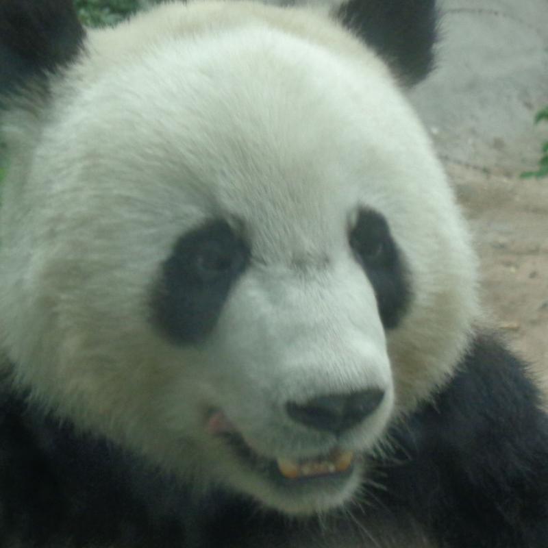 別以為只吃竹子!可愛貓熊也會吃「羚羊」